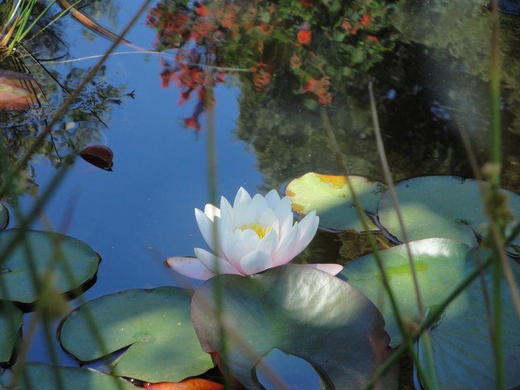 Flor de Loto................