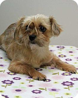 Shih Tzu Mix Dog for adoption in Harrisonburg, Virginia - Betty