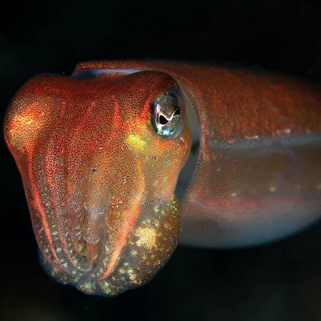 【yoshihiro210_gallery】さんのInstagramをピンしています。 《#海#イカ#水中#水中写真#水中撮影#スキューバダイビング#ダイビング#ダイバー#波左間海中公園 #金曜日#晴れ#青空#千葉#館山#写真撮ってる人と繋がりたい #写真好きな人と繋がりたい#underwater#underwaterworld#underwaterphoto#underwaterpicture#underwaterpic#underwaterphotograph#sea#scuba#scubadiving#dive#diver#diving#Instagram#instagood》