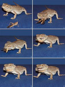 Bearded Dragon Care | Bearded dragon care sheet and information on pet lizard bearded dragons cage habitat, tank setup, food feeding, health...