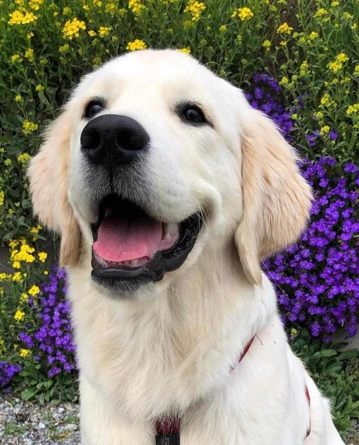 Pin by Gigi R on Puppys Puppies, Golden retriever, Dogs