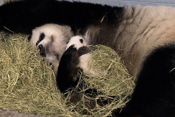LIVE Zoo Atlanta Panda Cam! So amazing to see the momma panda bear and her babies :)