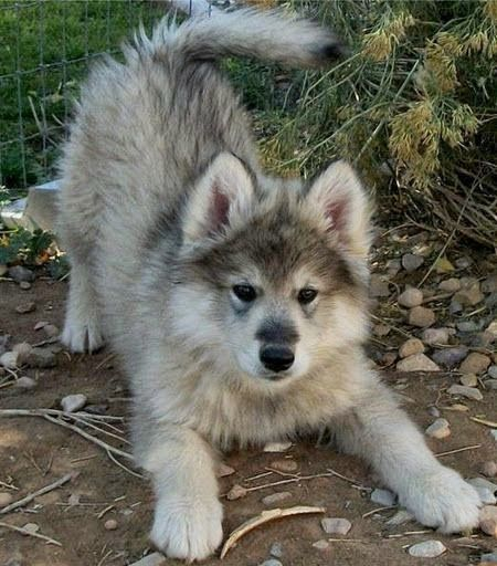 I Love all Dog Breeds: 5 Amazing wolf Hybrids you have ever seen chien trop mignon Dogs Lovers http://dogslovers.fr/
