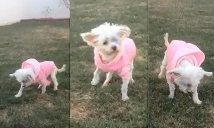 Touching moment 12-year-old dog who spent her entire life in 18-inch puppy mill cage walks on grass for the first time