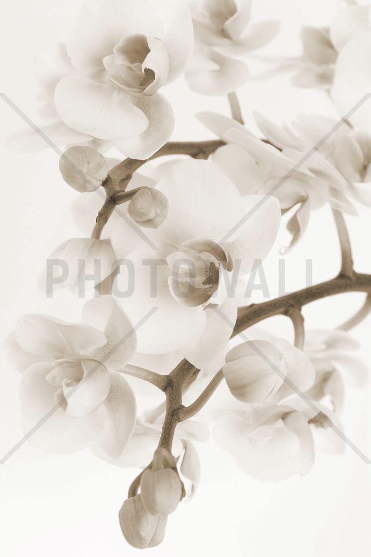 Orchidee - Sepia - Fototapeten