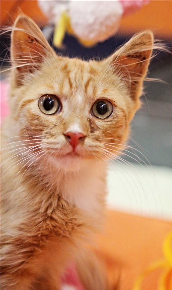 Henry is a gorgeous kitty kat from Wacol. Henry loves cuddles, playtime and exploring. Come meet him today! http://bit.ly/2qCLGzx