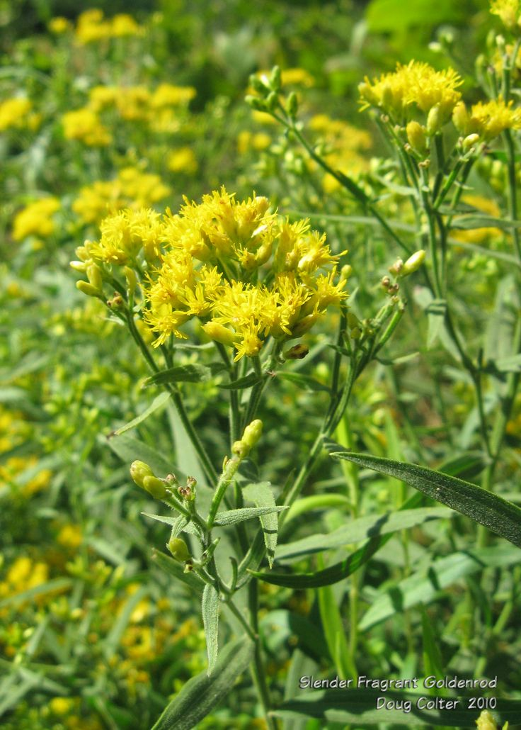 Slender fragrant goldenrod (Solidago tenuifolia) • Family: Aster (Asteraceae)  • Habitat: dry, sandy soil • Height: 1-2 feet • Flower size: 1/4 inch long • Flower color: yellow • Flowering time: August to October  • Photo by Doug Colter