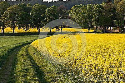 oilseed-gwałta-pole-37145753.jpg (400×267)