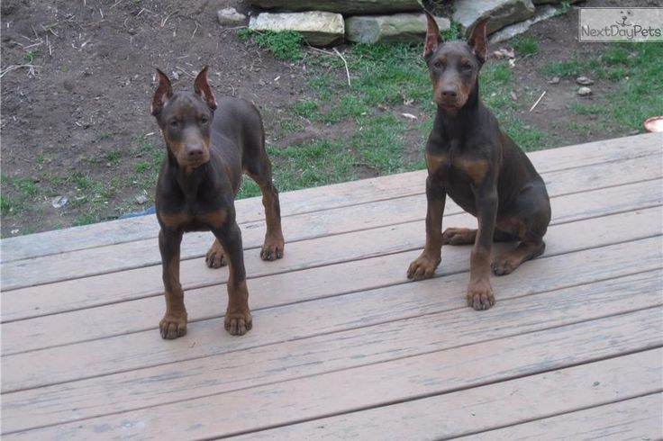 25  best ideas about doberman for sale on pinterest