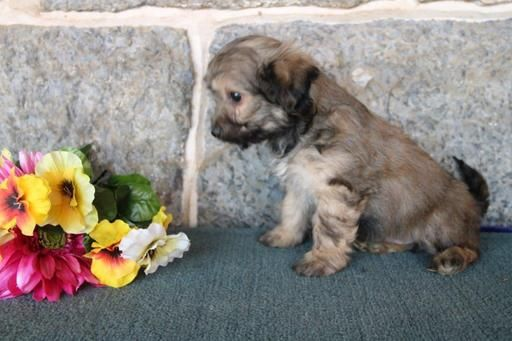1000 ideas about cute puppies for sale on pinterest - Northern michigan craigslist farm and garden ...