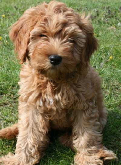 Miniature Labradoodle---the 5th member of our household...someday :)