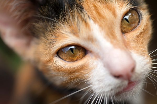 My cat Kissy had the most amazing eyes I'd ever seen: If I caught her with her eyes open on a sunny day, they were a beautiful sea-green that I could never capture in a photo. Most of the pictures I have of her, like the one below, show her eyes with a golden tone. …