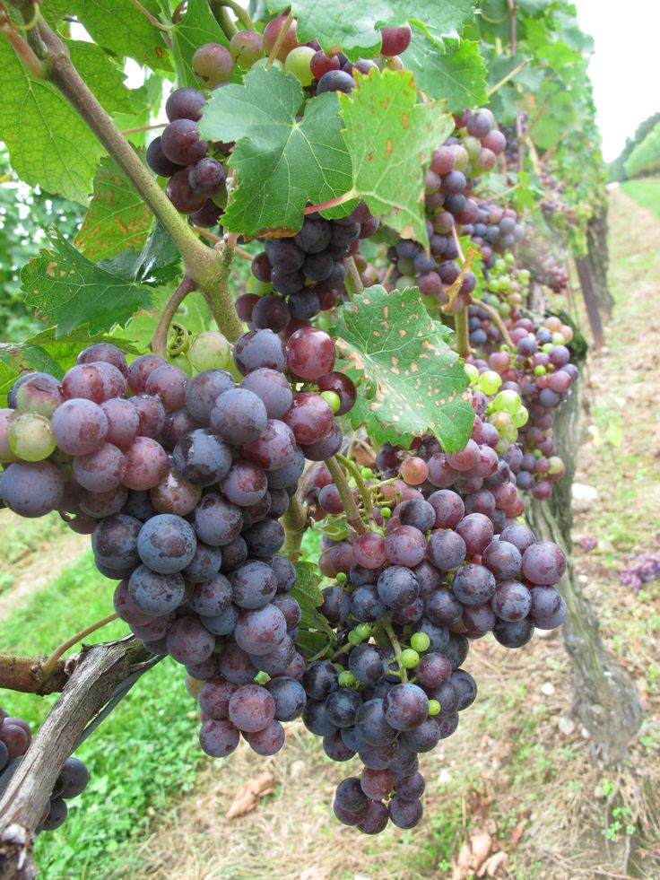 How to Make Wine at Home - Real Food - MOTHER EARTH NEWS