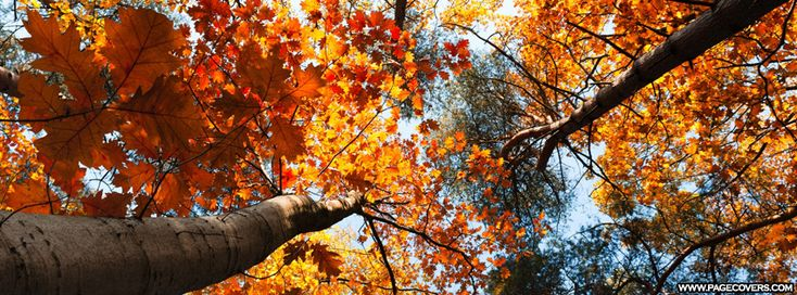 Golden Trees In The Fall Facebook Cover