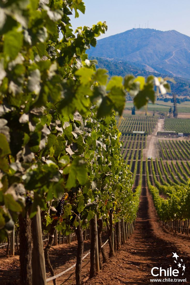 The best vineyards of the world, obviously... in Chile