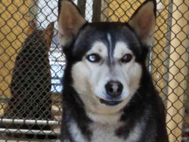 Siberian Husky dog for Adoption in Downey, CA. ADN-503196 on PuppyFinder.com Gender: Male. Age: Adult