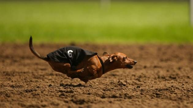 Wiener Dog Wars: This set of pictures had the Picture desk staff chuckling: so here's a gallery for your entertainment!