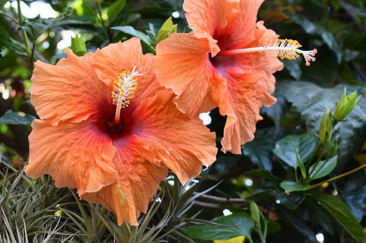 rafaelbaquedanocharad posted a photo:  Two hibiscus flowers showing the roughness, folds and folds of its large petals.  Dos flores de hibisco mostrando las rugosidades, dobleses y pliegues de sus grandes pétalos.