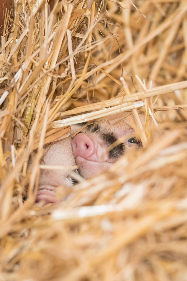 A Miniature Pig named Jolly became a first time mother on August 14, at Zoo Basel. Jolly gave birth to eight wiggly Piglets: four males and four females. Despite her lack of experience, Jolly's instincts have been spot-on, and she is a very attentive mother. 1