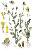 Kamille komt van het Griekse samengestelde woord chamomilla, wat uit de woorden ´chamos´ en ´melos´ bestaat. Het eerste woord betekent ´grond´ en het tweede ´appel´. De plant werd grondappel genoemd omdat hij laag bij de grond groeit en naar appel ruikt.