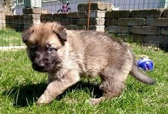Litter of 7 Malinois puppies for sale in POLAND, NY. ADN-28827 on PuppyFinder.com Gender: Female. Age: 5 Weeks Old