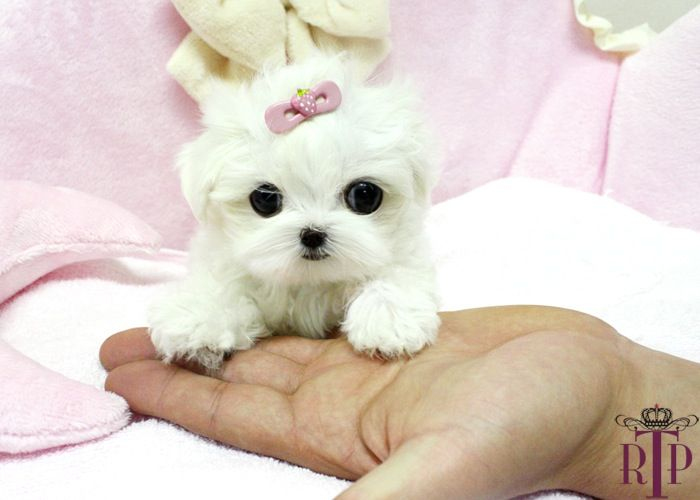 Micro Teacup Maltese Puppies. Want one! | ... Sassy* Precious Tiny Micro Teacup Maltese ::: Royal Teacup Puppies