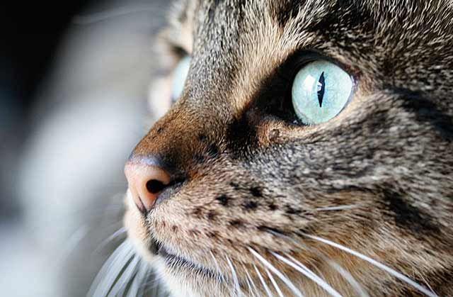Pupillen Beobachtungen Masken Mischlingskatzen