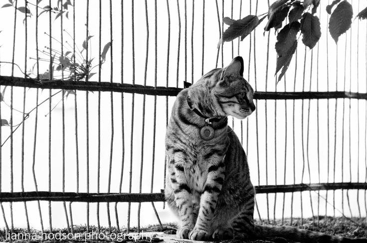 Nula. The most wonderful cat of Le Manoir Saint-Gervais. He replies when you talk to him!