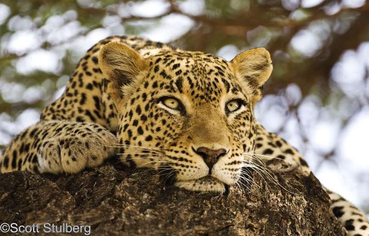 leopard | ... Close and Personal with an African Leopard - 7 Photography Questions