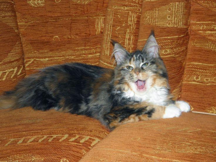 Maine Coon - Mainská mývalí kočka: Samantha - 4. měsíc