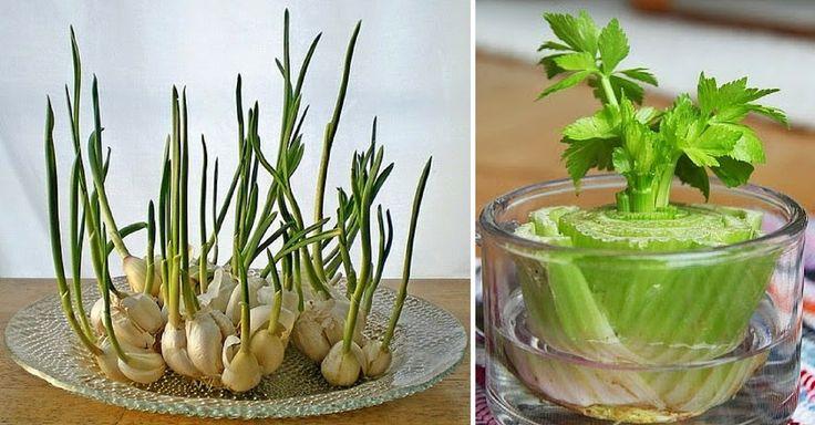 Věděli jste, že třeba česnek můžete využít úplně celý? Konec ponoříte do vody a on znovu vzklíčí? Kromě česneku vám představujeme 6 dalších druhů zeleniny. Rašící lístky jsou navíc mnohem jemnější a hodí se do čerstvých jarních salátů, nebo pomazánek. 1. Římský salát 2. Pórek 3. Koriandr 4. Celer 5. Bazalka 6. Mrkev 7. Česnek Chcete dostávat ty ...