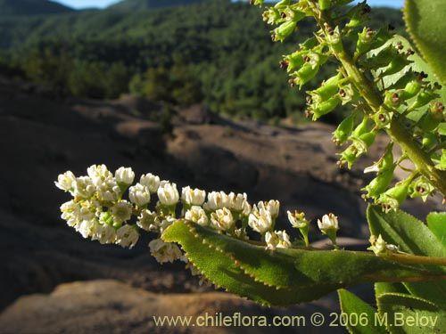 Imágen de Escallonia pulverulenta (Madroño / Corontillo / Siete camisas). Haga un clic para aumentar parte de imágen.