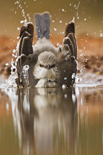 Bath time for the Northern Mockingbird