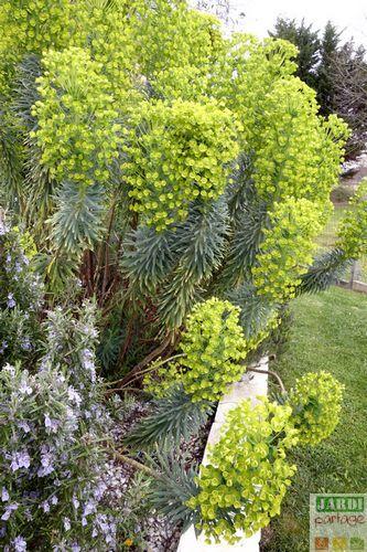 Elle est juste impressionnante cette euphorbe characias. Plante à la floraison printanière, idéale en massif sec