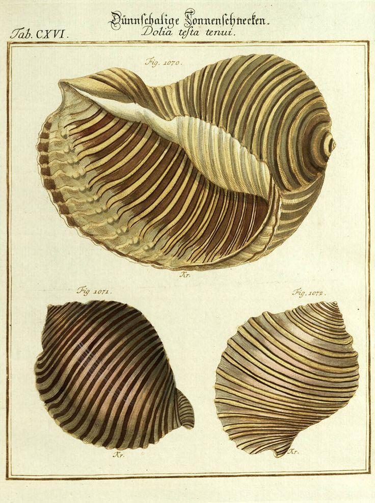 Dolia testa tenui #conchiglie #mare #illustrazione #natura #scienze