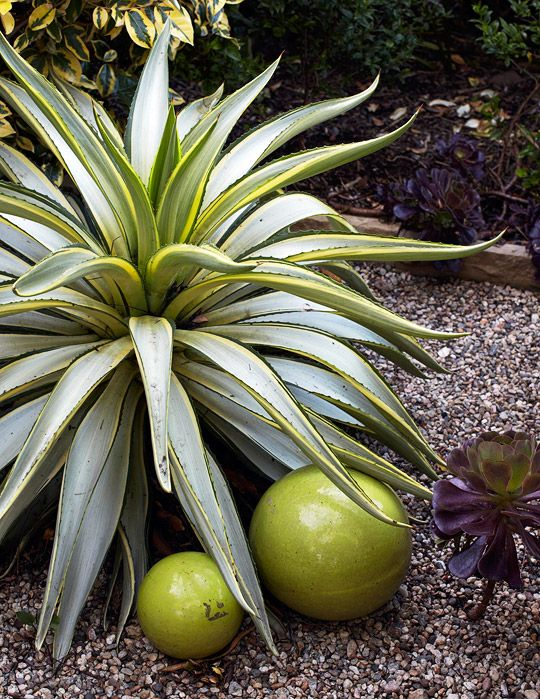 17 Best Images About Agave On Pinterest Gardens Glow