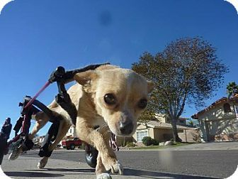 Phoenix, AZ - Chihuahua. Meet Paris, a dog for adoption. http://www.adoptapet.com/pet/16447121-phoenix-arizona-chihuahua