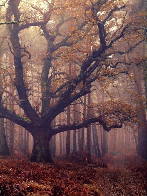 warm-and-hazy:    I bet fairies live there: Old Trees, Dream, Trees Of Life, Mothers Nature, Dark Forests, Fall Trees, Place, Autumn Trees, Old Woods