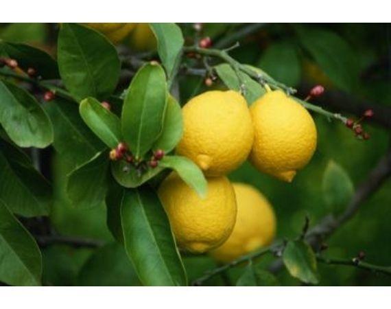 How to transplant meyer lemon trees gardening for When to transplant lemon tree seedlings