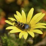 A Spotted Blister Beetle on a yellow daisy, South Africa