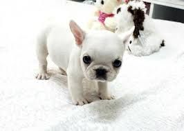 Image result for teacup french bulldog