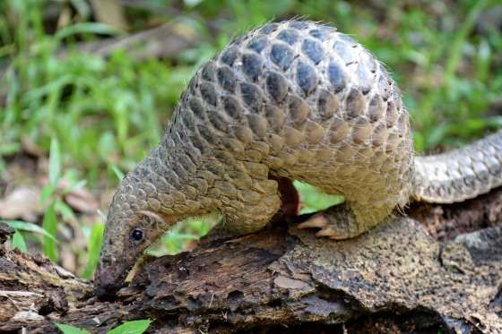 Slide 12 of 38: A baby Sunda pangolin nicknamed 'Sandshrew' feeds on termites in the woods at Singapore Zoo on June 30, 2017. Sandshrew was brought to the Wildlife Health and Research Centre on January 16, reportedly found stranded in the Upper Thomson area by a member of the public. Sunda pangolins are listed as critically endangered by the International Union for Conservation of Nature (IUCN). / AFP PHOTO / ROSLAN RAHMAN (Photo credit should read ROSLAN RAHMAN/AFP/Getty Images)