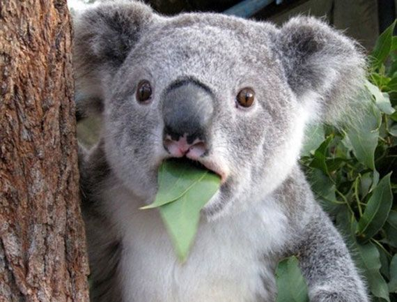 8 things you didn't know about koalas