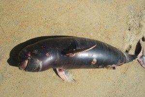 Tiga ekor pesut kalimantan mati akibat terkena jaring nelayan.