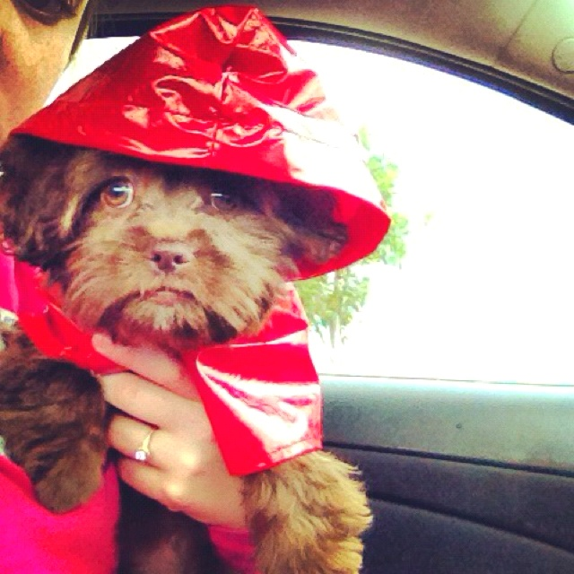 My puppy and her raincoat Glamourcom, Cute Puppies, Hurricane Ready Puggle, Supercuts Puppies, Hurricane Sandy, Super Cut Puppies, Blog, Puppy'S, Puppies Wear