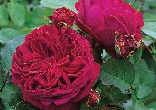 """'Falstaff', 1,6-2m, mittelere-gute Blattgesundheit, """"Gesundheit ist sehr gut für eine Engl. Rose"""""""