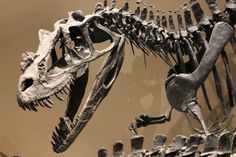 The large Ceratosaurus at the Natural History Museum of Utah. Photo by Brian Switek.
