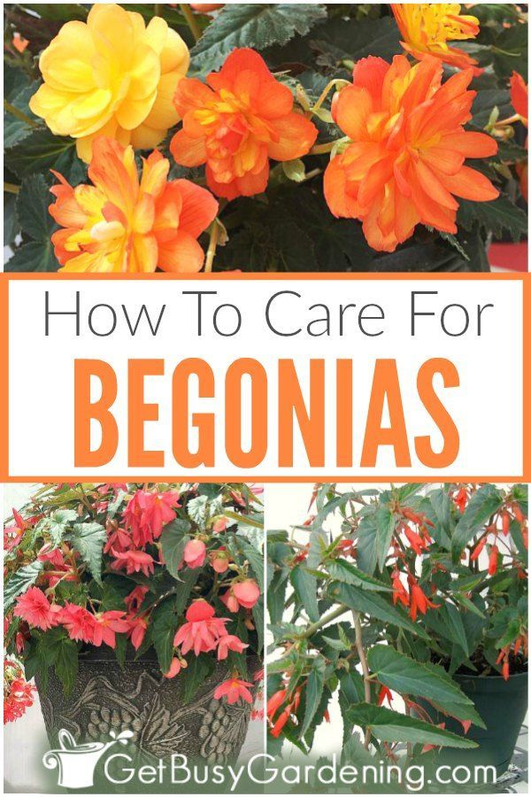 Begonia Plant Care How To Grow Care For Begonias In 2020 Plants Begonia Tuberous Begonia