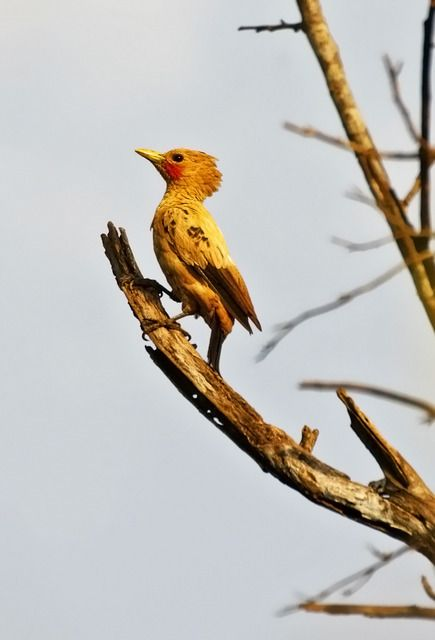 Foto pica-pau-amarelo (Celeus flavus) por Valdir Hobus   Wiki Aves - A Enciclopédia das Aves do Brasil - Este é o macho .