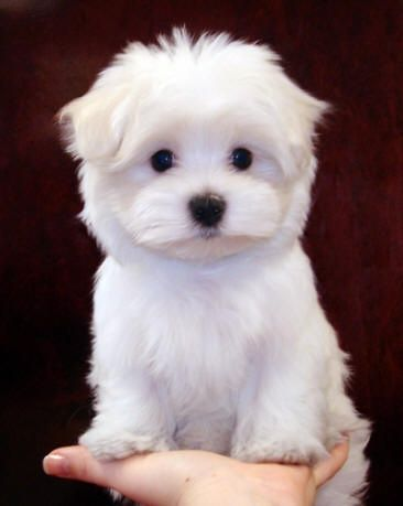 Image Detail for - Maltese Poodle Puppies For Sale | Maltese Mix Puppies